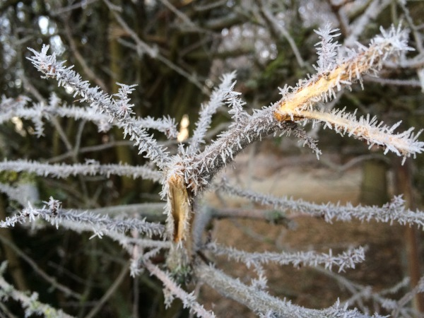 Hoar frost on a branch