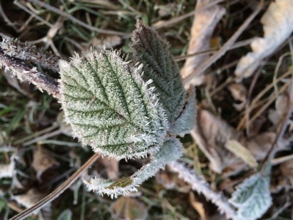 Hoar frost on a leaf