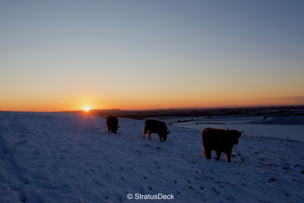Highlands cows at Sunset